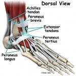 ankle_fusion_anatomy03